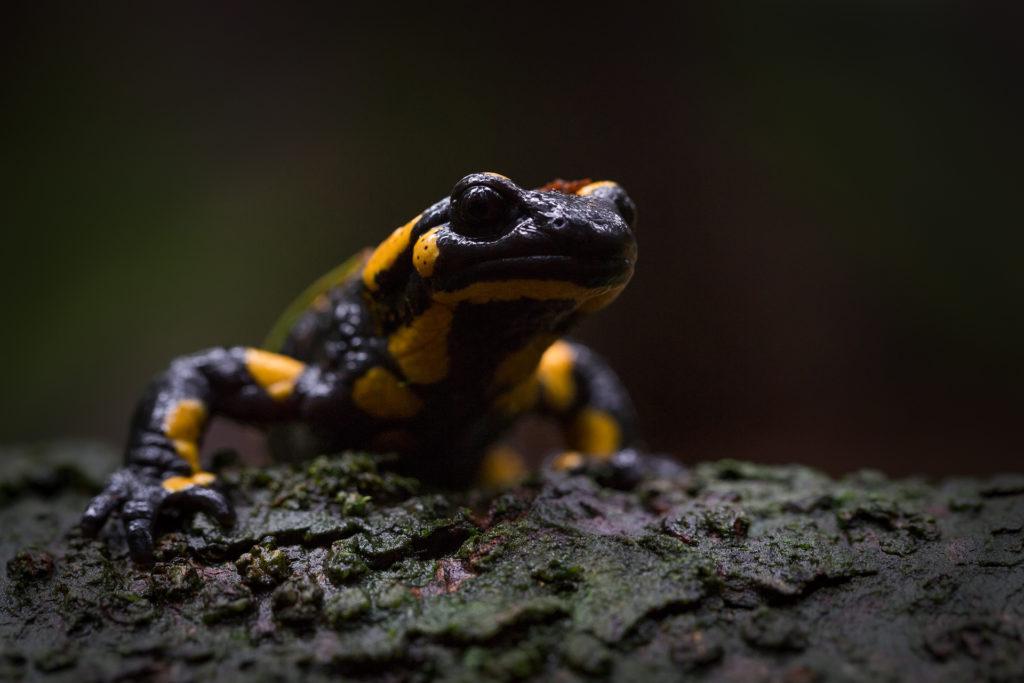 Amphibien1